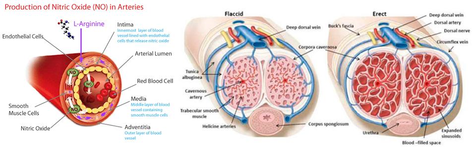 L-Arginin razširja žile in omogoča tršo erekcijo